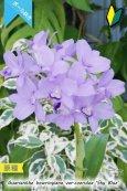 画像2: 【ブルー系・ボール咲きカトレア原種】Gur.bowringiana var.coerulea 'Sky Blue' (原種)グアリアンセ ボーリンギアナ セルレア 'スカイブルー' (2)