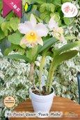 画像4: 【パステルカラー大輪カトレア】Rlc.Pastel Queen 'Peach Melba'(交配種)カトレア系 パステルクィーン 'ピーチメルバ' (4)