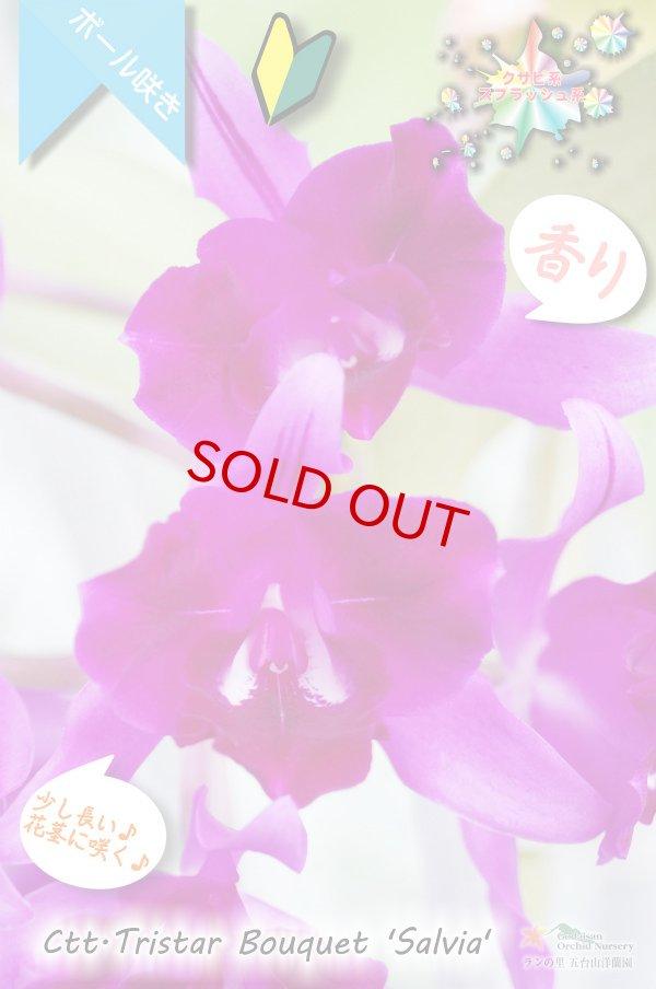 画像1: 【まるでベルベットの様な濃紫紅色スプラッシュカトレア】Ctt.Tristar Bouquet 'Salvia' (交配種)カトレア系 トライスターブーケット 'サルビア' (1)