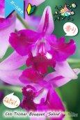 画像2: 【まるでベルベットの様な濃紫紅色スプラッシュカトレア】Ctt.Tristar Bouquet 'Salvia' (交配種)カトレア系 トライスターブーケット 'サルビア' (2)