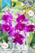 画像5: 【まるでベルベットの様な濃紫紅色スプラッシュカトレア】Ctt.Tristar Bouquet 'Salvia' (交配種)カトレア系 トライスターブーケット 'サルビア' (5)
