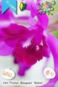 画像3: 【まるでベルベットの様な濃紫紅色スプラッシュカトレア】Ctt.Tristar Bouquet 'Salvia' (交配種)カトレア系 トライスターブーケット 'サルビア' (3)