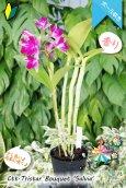 画像6: 【まるでベルベットの様な濃紫紅色スプラッシュカトレア】Ctt.Tristar Bouquet 'Salvia' (交配種)カトレア系 トライスターブーケット 'サルビア' (6)