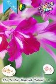 画像4: 【まるでベルベットの様な濃紫紅色スプラッシュカトレア】Ctt.Tristar Bouquet 'Salvia' (交配種)カトレア系 トライスターブーケット 'サルビア' (4)