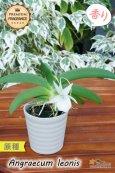 画像4: 【夜・香るラン】Angraecum leonis (原種)アングレカム レオニス (4)