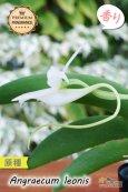 画像3: 【夜・香るラン】Angraecum leonis (原種)アングレカム レオニス (3)