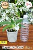 画像5: 【夜・香るラン】Angraecum leonis (原種)アングレカム レオニス (5)