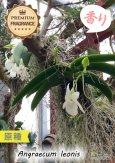 画像6: 【夜・香るラン】Angraecum leonis (原種)アングレカム レオニス (6)