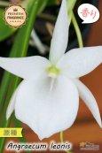 画像2: 【夜・香るラン】Angraecum leonis (原種)アングレカム レオニス (2)