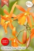 画像1: 【伸び上がった花茎に咲くエピデン✕カトレア系種】Ett. Hsinying Orange'Ching Hua'(交配種)エピカタンセ シンインオレンジ 'チンファ' (1)