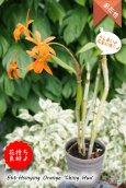 画像3: 【伸び上がった花茎に咲くエピデン✕カトレア系種】Ett. Hsinying Orange'Ching Hua'(交配種)エピカタンセ シンインオレンジ 'チンファ' (3)