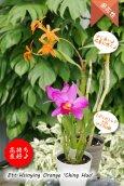 画像4: 【伸び上がった花茎に咲くエピデン✕カトレア系種】Ett. Hsinying Orange'Ching Hua'(交配種)エピカタンセ シンインオレンジ 'チンファ' (4)
