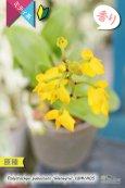 画像3: 【花が逆さま&下向きに咲く!照れ屋なアフリカ原産の野生ラン】Polystachya pubescens'Gleneyrie'CBM/AOS(原種)ポリスタキア プベッセンス 'グレネリー' (3)