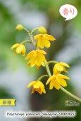 画像2: 【花が逆さま&下向きに咲く!照れ屋なアフリカ原産の野生ラン】Polystachya pubescens'Gleneyrie'CBM/AOS(原種)ポリスタキア プベッセンス 'グレネリー' (2)