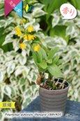 画像4: 【花が逆さま&下向きに咲く!照れ屋なアフリカ原産の野生ラン】Polystachya pubescens'Gleneyrie'CBM/AOS(原種)ポリスタキア プベッセンス 'グレネリー' (4)