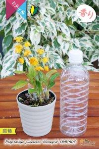画像1: 【花が逆さま&下向きに咲く!照れ屋なアフリカ原産の野生ラン】Polystachya pubescens'Gleneyrie'CBM/AOS(原種)ポリスタキア プベッセンス 'グレネリー'