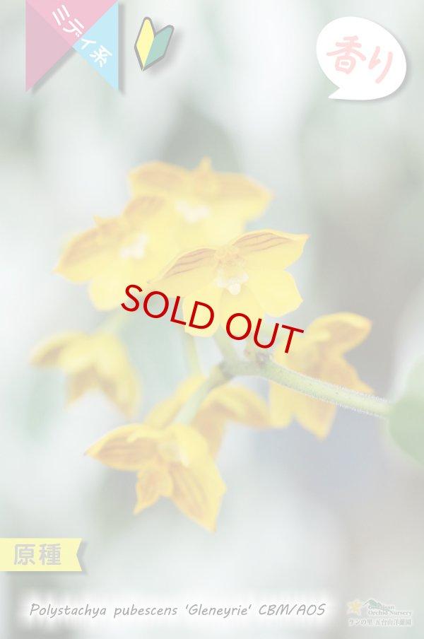 画像1: 【花が逆さま&下向きに咲く!照れ屋なアフリカ原産の野生ラン】Polystachya pubescens'Gleneyrie'CBM/AOS(原種)ポリスタキア プベッセンス 'グレネリー' (1)