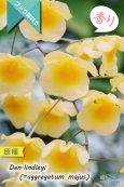 画像1: 【可憐な花びらのイエローカラー・デンドロ原種】Dendrobium lindleyi(=aggregatum majus) (原種) デンドロビウム リンドレイ(=アグレガタム マジャス) (1)