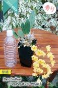 画像5: 【可憐な花びらのイエローカラー・デンドロ原種】Dendrobium lindleyi(=aggregatum majus) (原種) デンドロビウム リンドレイ(=アグレガタム マジャス) (5)