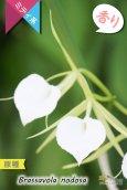 画像1: 【リップがハート型に見える原種】Brassavola nodosa(原種)ブラッサボラ ノドサ (1)