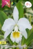 画像1: 【ベネズエラからの育て易いカトレア原種】C.gaskeriana alba (原種)カトレア ガスケリアナ バー アルバ 'ホワイトウイング' (1)
