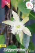 画像1: 【リップのヒゲヒゲが魅力的なカトレア系原種】Rl.digbyana 'Gleddons'(原種)リンコレリア ディグビアナ'グレッドンズ' (1)