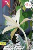 画像5: 【リップのヒゲヒゲが魅力的なカトレア系原種】Rl.digbyana 'Gleddons'(原種)リンコレリア ディグビアナ'グレッドンズ' (5)