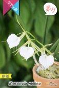 画像3: 【リップがハート型に見える原種】Brassavola nodosa(原種)ブラッサボラ ノドサ (3)