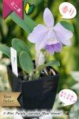 画像3: 【年に2回花が咲く可能性のあるミニカトレア】C[Lc].Mini Purple coerulea 'Blue Hawaii'(交配種)ミニカトレア ミニパープル セルレア'ブルーハワイ' (3)
