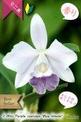 画像1: 【年に2回花が咲く可能性のあるミニカトレア】C[Lc].Mini Purple coerulea 'Blue Hawaii'(交配種)ミニカトレア ミニパープル セルレア'ブルーハワイ' (1)