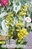 画像1: 【丸っこい花と香りを楽しむミニ洋ラン】Oncidium cheirophorum (原種) オンシジューム ケイロホルム (1)