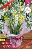 画像4: 【丸っこい花と香りを楽しむミニ洋ラン】Oncidium cheirophorum (原種) オンシジューム ケイロホルム (4)