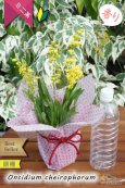 画像5: 【丸っこい花と香りを楽しむミニ洋ラン】Oncidium cheirophorum (原種) オンシジューム ケイロホルム (5)