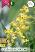 画像2: 【丸っこい花と香りを楽しむミニ洋ラン】Oncidium cheirophorum (原種) オンシジューム ケイロホルム (2)