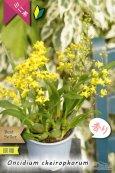 画像3: 【丸っこい花と香りを楽しむミニ洋ラン】Oncidium cheirophorum (原種) オンシジューム ケイロホルム (3)