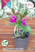 画像6: 【野生味あふれるカトレア点花の交配種】Cattleya Peckhaviensis (交配種・実生株)カトレア ペッカヴィエンシス (6)