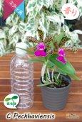 画像7: 【野生味あふれるカトレア点花の交配種】Cattleya Peckhaviensis (交配種・実生株)カトレア ペッカヴィエンシス (7)