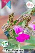 画像4: 【野生味あふれるカトレア点花の交配種】Cattleya Peckhaviensis (交配種・実生株)カトレア ペッカヴィエンシス (4)