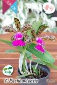 画像2: 【野生味あふれるカトレア点花の交配種】Cattleya Peckhaviensis (交配種・実生株)カトレア ペッカヴィエンシス (2)