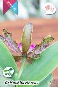 画像5: 【野生味あふれるカトレア点花の交配種】Cattleya Peckhaviensis (交配種・実生株)カトレア ペッカヴィエンシス (5)