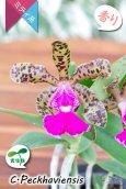画像1: 【野生味あふれるカトレア点花の交配種】Cattleya Peckhaviensis (交配種・実生株)カトレア ペッカヴィエンシス (1)