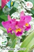 画像3: 【トロピカルな雰囲気を持った夏〜冬咲きカトレア】Rlc.Rainbow'G83-10'(交配種・実生株)カトレア類 レインボー 'G83-10' (3)