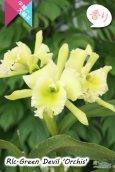 画像5: 【香りを楽しむカトレア】Rlc.Green Devil 'Orchis'(交配種)カトレア類 グリーンデビル 'オルキス' (5)