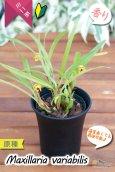 画像4: 【小さくて可愛らしい原種ミニ洋らん】Maxillaria variabilis(原種)マキシラリア バリアビリス (4)