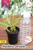 画像5: 【小さくて可愛らしい原種ミニ洋らん】Maxillaria variabilis(原種)マキシラリア バリアビリス (5)
