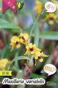 画像2: 【小さくて可愛らしい原種ミニ洋らん】Maxillaria variabilis(原種)マキシラリア バリアビリス (2)