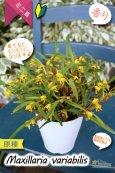 画像3: 【小さくて可愛らしい原種ミニ洋らん】Maxillaria variabilis(原種)マキシラリア バリアビリス (3)