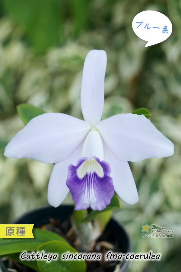 画像1: 【ブルー系ミニカトレア原種】C.sincorana fma.coerulea (原種) カトレア シンコラーナ セルレア(実生) (1)