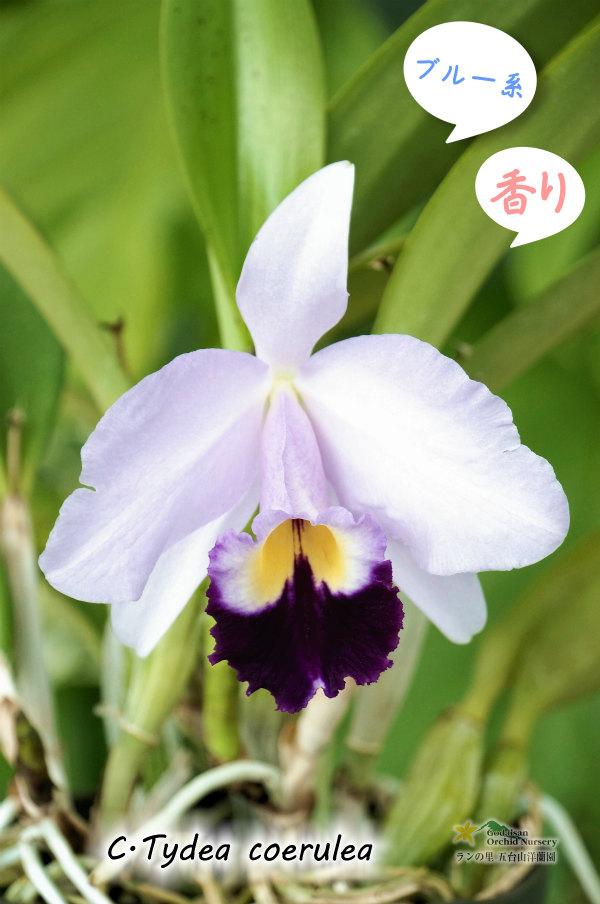 画像1: 【ブルー系ミディカトレア】C.Tydea coerulea カトレア ティディー セルレア (1)