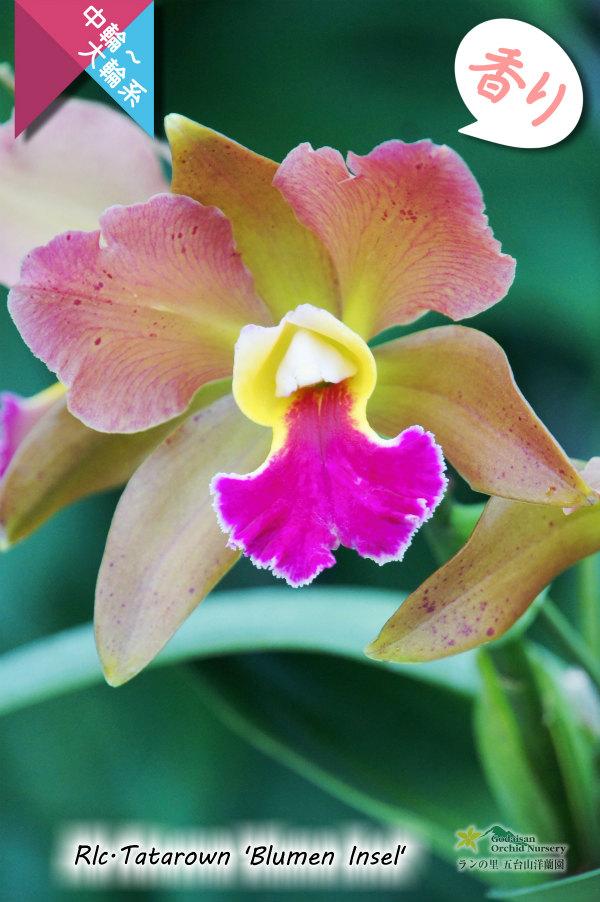 画像1: 【リップが印象的な貴重な夏咲品種】Rlc.Tatarown'Blumen Insel'CR/HOS (交配種)タタロウン'ブルーメン インセル' (1)